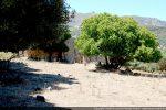 Eglise dans les oliviers